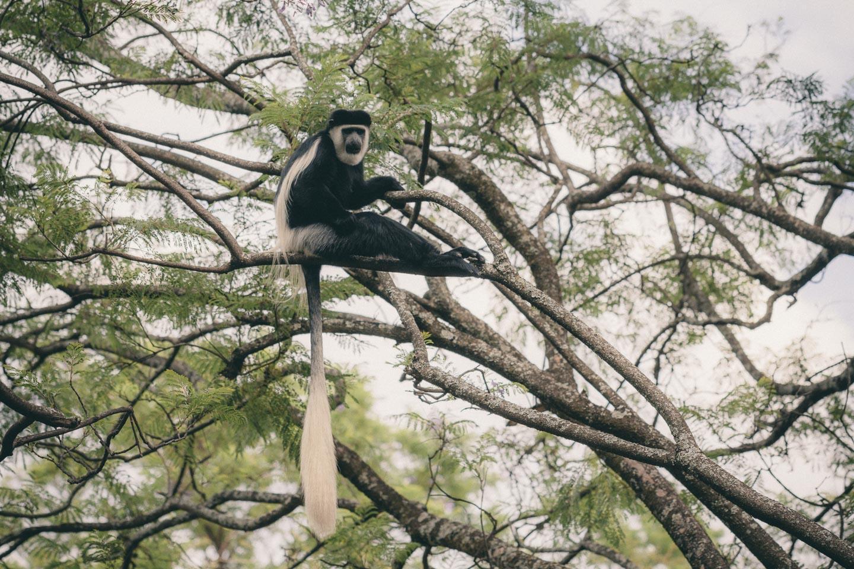 En Colobus monkey  🐒