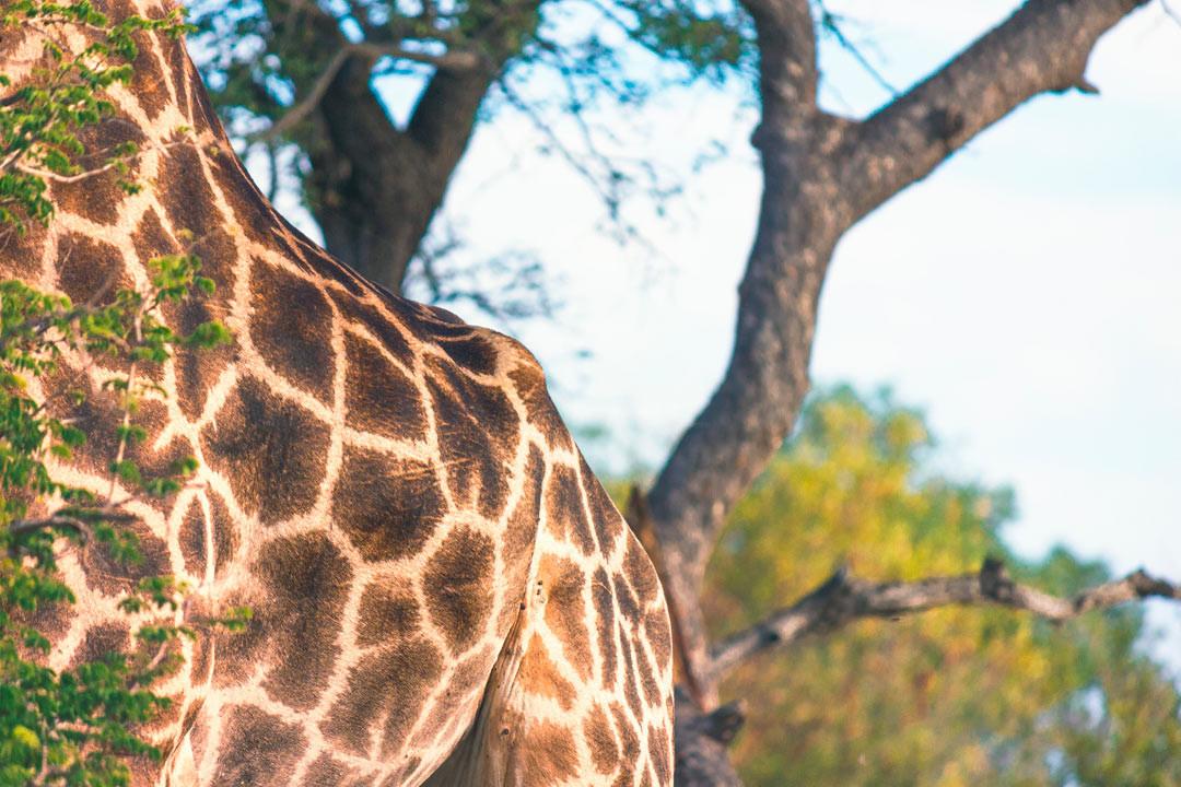 A real giraffe.
