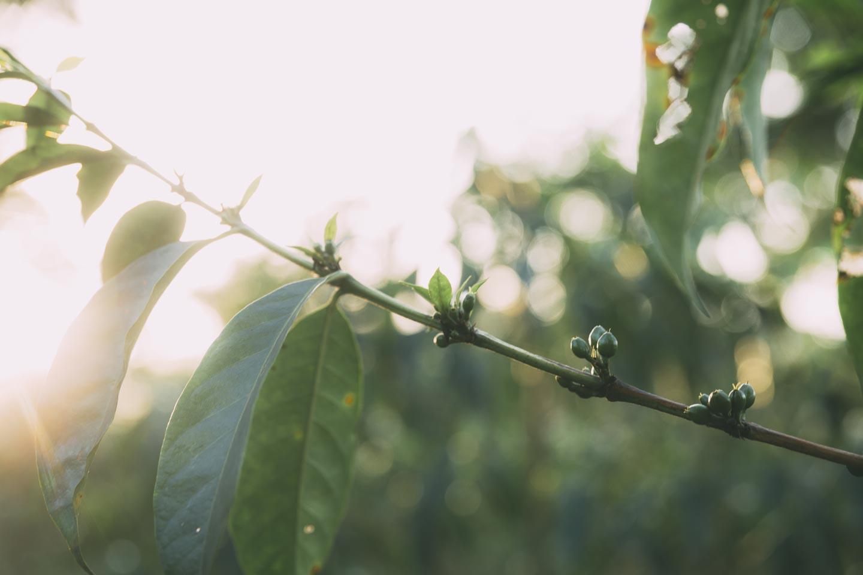 Grønne kaffebær inden de er røde og klar til at blive plukket ☕