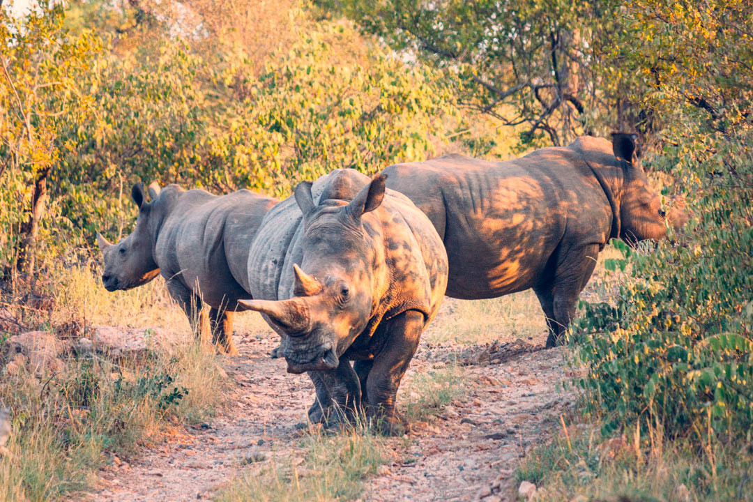 It's not difficult to understand why these rhinos stand on guard: in 2014, 3-4 got killed every single day in South Africa by poachers who sell their horns for large sums.
