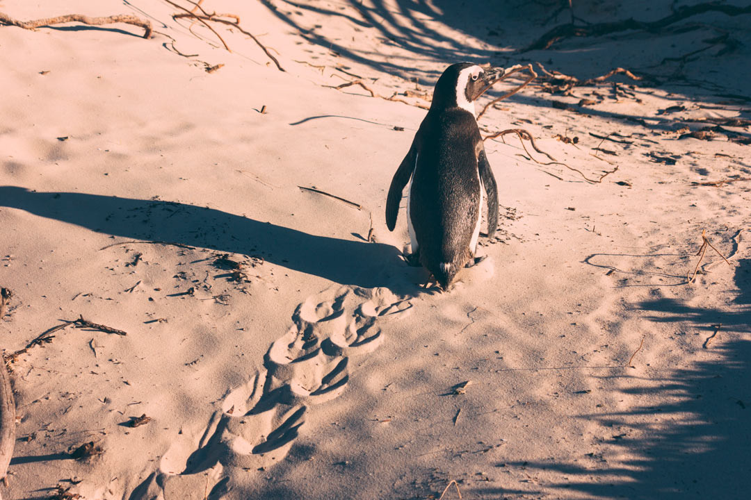 Wild penguins. In Africa. It sounds strange. And it is.