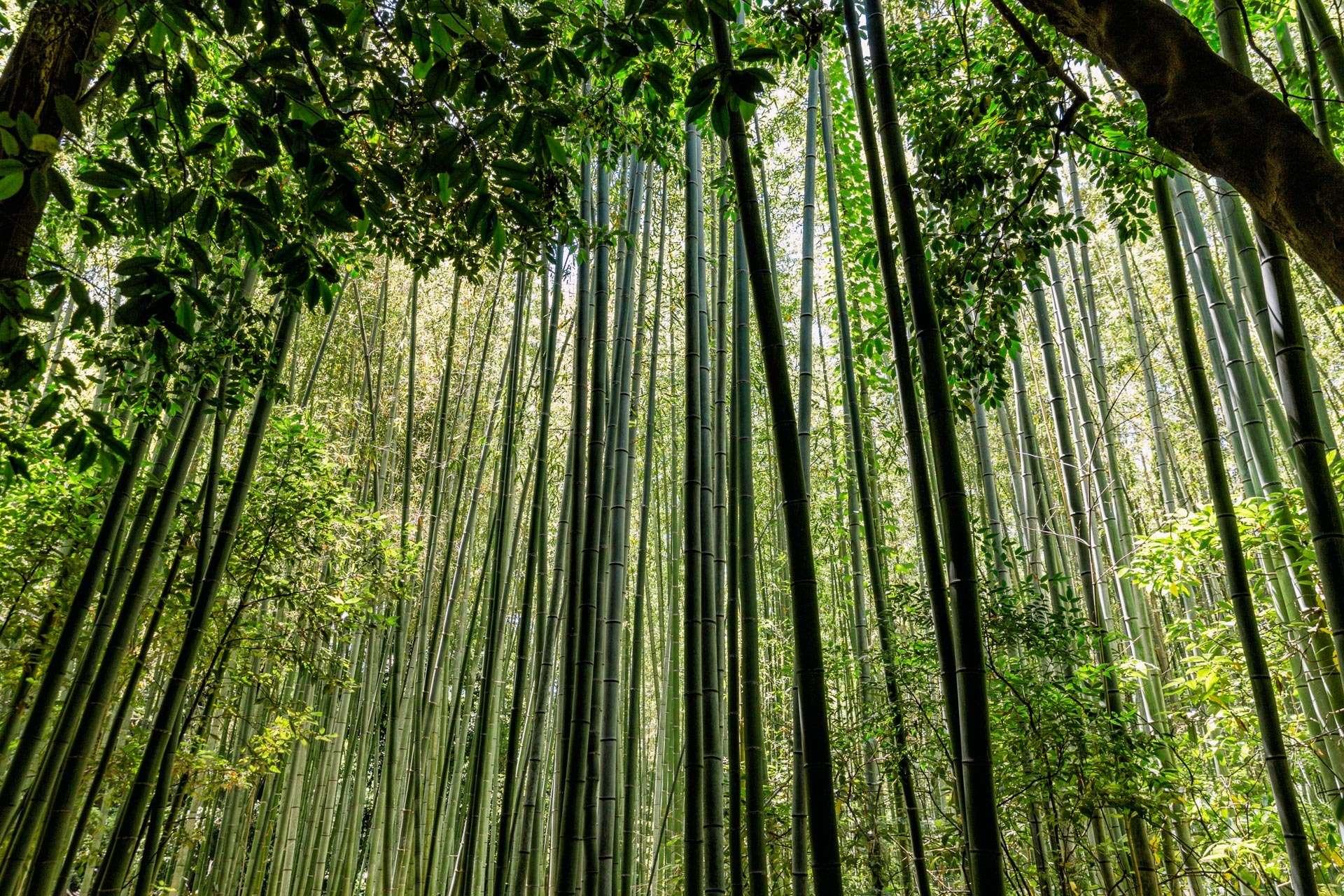 Bambusskov i Kyoto.